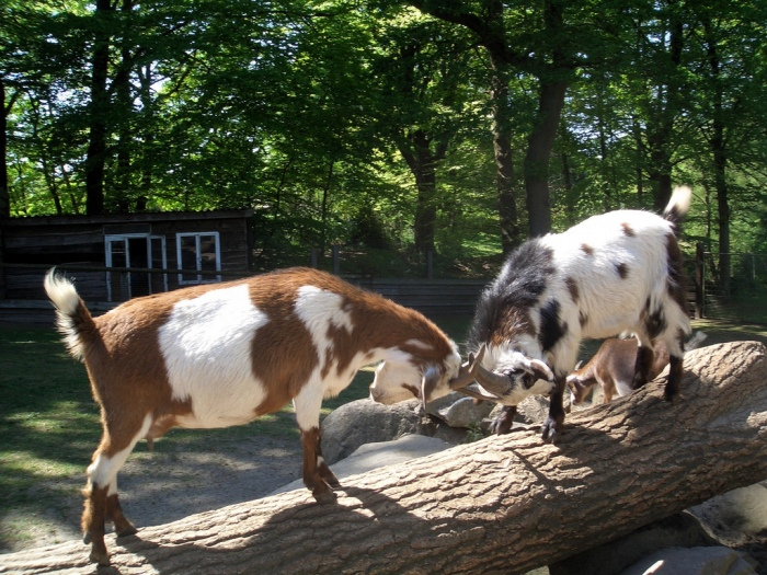Goats_butting_heads_in_Germany